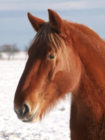 A head shot of a Suffolk Punch horse in the snow photo