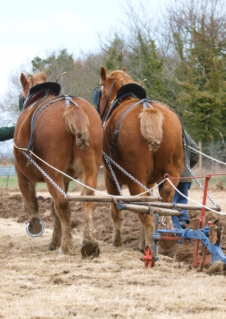 ploughing: A team of Suffolk Punch horses plough a field.