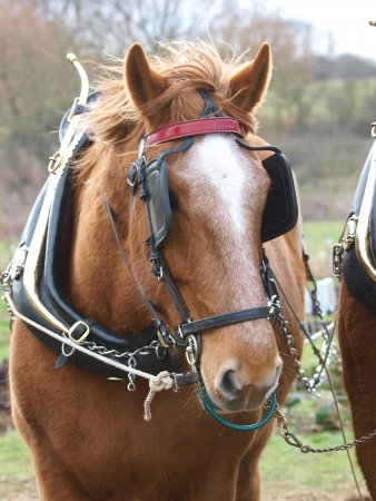 blinkers: A head shot of a Suffolk Punch horse in harness Stock Photo