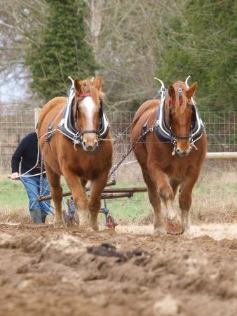 A team of Suffolk Punch horses plough a field.
