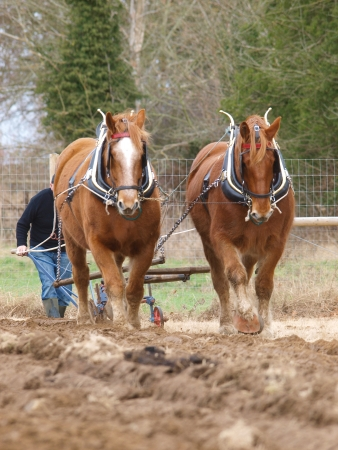 ploughing field: A team of Suffolk Punch horses plough a field.