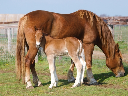 A Suffolk Punch mare with her foal in a paddock