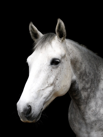 head shot: A head shot of a grey horse on a black background