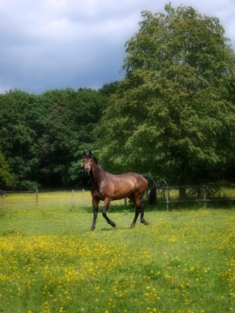 buttercups: A bay horse loose in a paddock of buttercups