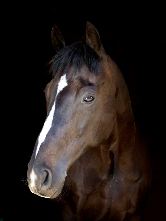head shot: A head shot of a bay horse on a black background Stock Photo