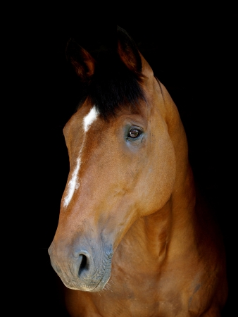 head shot: A head shot of a chestnut horse on a black background Stock Photo