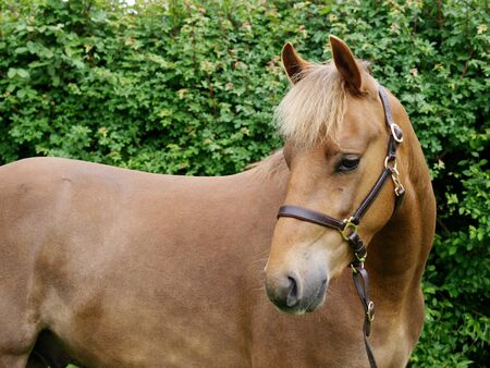 horse collar: A head shot of a New Forest pony in a paddock
