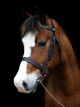A head shot of a bay horse in a bridle against a black background