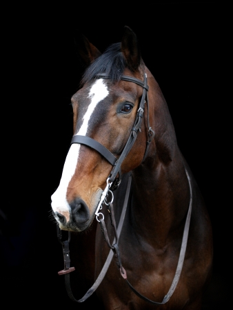 A head shot of a bay horse in a bridle against a black background photo