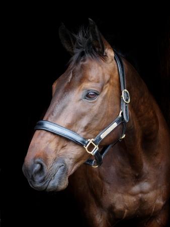 Een hoofd geschoten van een baai paard in een hoofd kraag tegen een zwarte achtergrond Stockfoto