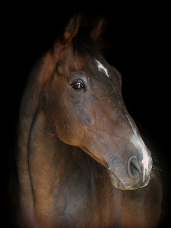 A head shot of a bay horse on a black background photo