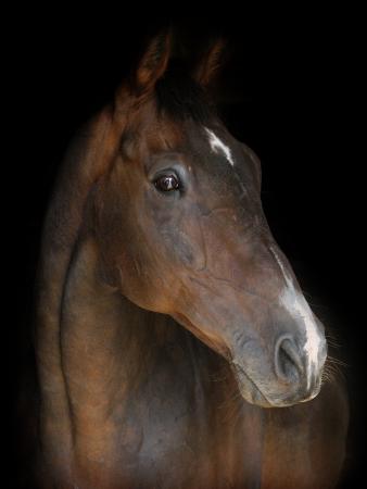 Een hoofd schot van een baai paard op een zwarte achtergrond Stockfoto