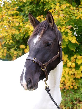 skewbald: A head shot of a skewbald horse against a background of autumn leaves.