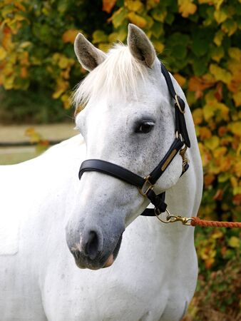 horse collar: A head shot of a grey horse against a background of autumn leaves. Stock Photo