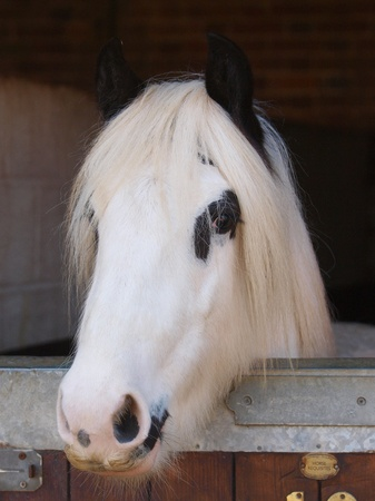 A black and white pony stands in a stable photo