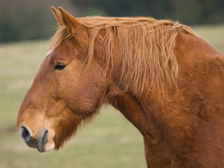 A head shot of a Suffolk Punch horse against a paddock photo