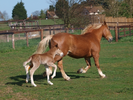 A Suffolk Punch mare and foal trot side by side in a paddock. Stock Photo - 17725311