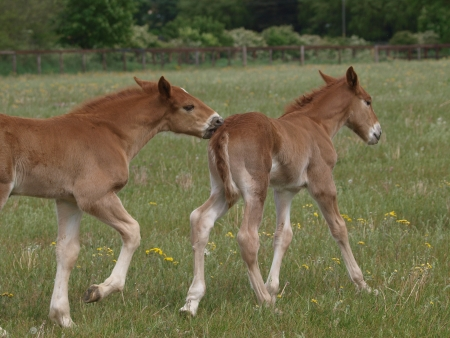 Two Suffolk Punch foals play in a paddock photo