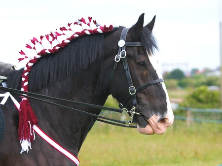 A head shot of a braided up Shire horse in a bridle