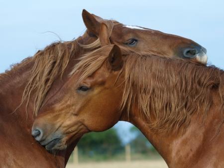 Twee Suffolk Punch paarden wederzijds vlooien elkaar in een paddock