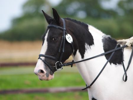 skewbald: A head shot of a skewbald horse during a dressage test.