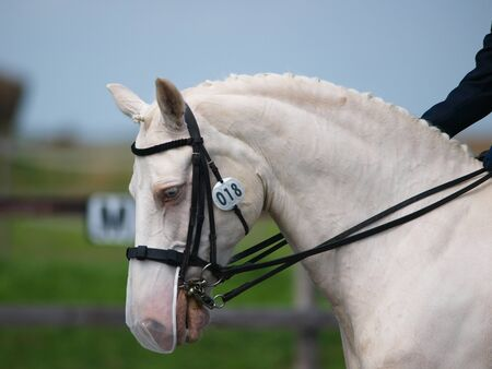 A head shot of a grey horse during a dressage test. photo
