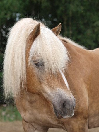 A head shot of a beautiful Haflinger horse with a blonde mane. photo