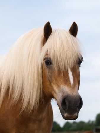 Een hoofd geschoten van een mooie Haflinger paard met een blonde manen. Stockfoto