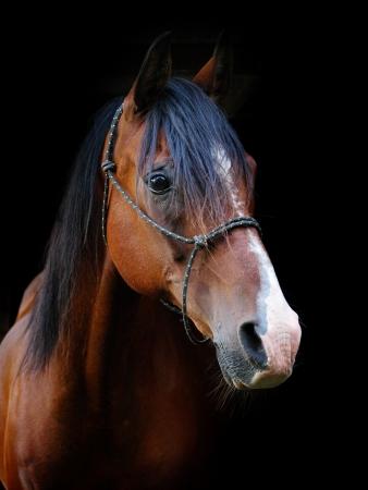 Een hoofd geschoten van een baai paard in een halter tegen een zwarte achtergrond