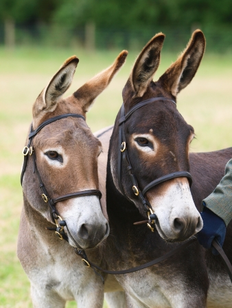 A head shot of two donkeys wearing a bridles. photo