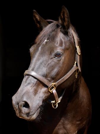 cabeza de caballo: Un disparo en la cabeza de un caballo negro en una soga sobre un fondo negro Foto de archivo