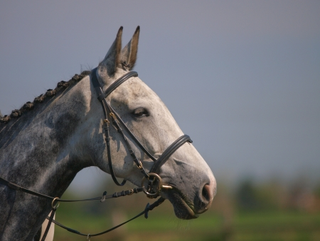 bridle: A head shot of a grey horse in a bridle. Stock Photo