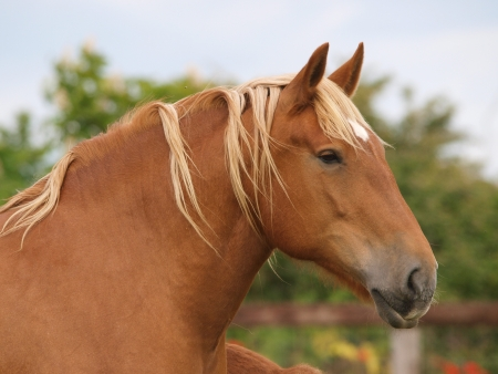 A head shot of a prettty chestnut Suffolk Punch horse photo