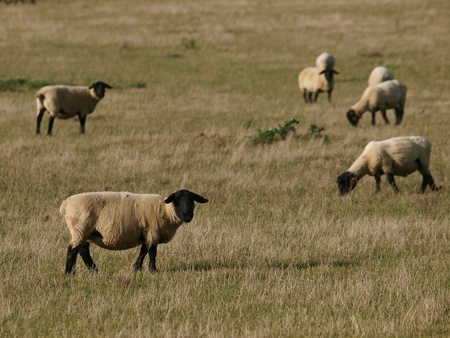 A flock of Suffolk sheep graze in a meadow. photo