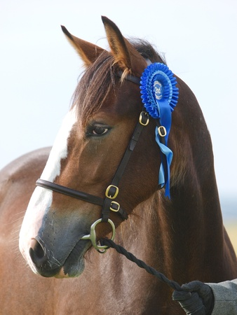 A head shot of a horse in a bridle during a competition photo