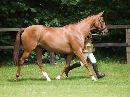 Een paard wordt omhoog draafde in de showring.