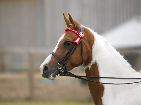 skewbald: A head shot of a skewbald plaited horse in a double bridle. Stock Photo