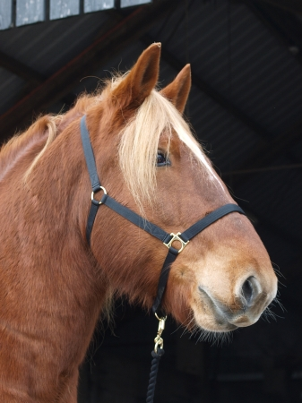 head collar: A head shot of a chestnut horse in a head collar.