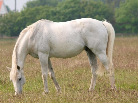 dappled: A grey thorougbred grazes in a paddock with long grass.