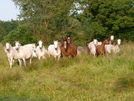 A herd of grey and bay horses in a medow of long grass. photo