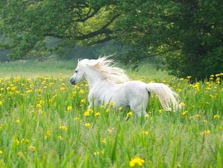 Een mooie witte hengst loopt door een weide van wilde bloemen.