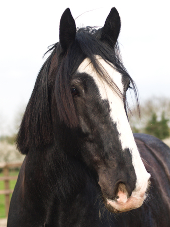 shire horse: A head shot of a black shire horse with a white blaze. Stock Photo