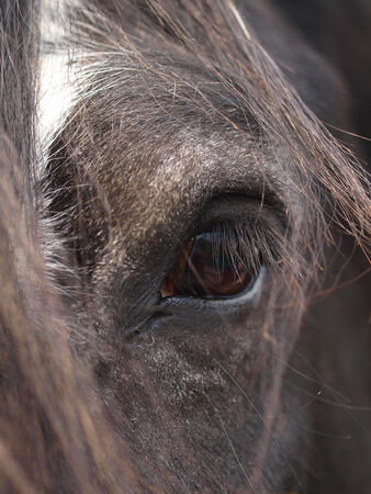 shire horse: A close up of the eye of a black Shire horse