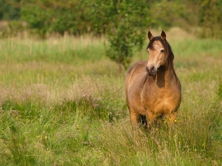 connemara: A beautiful dun Connemara pony stands in a paddock