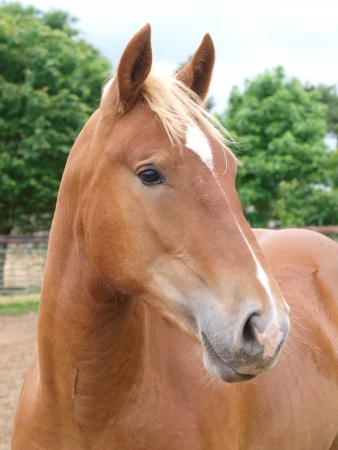 A head shot of a chestnut horse in a paddock. Stock Photo