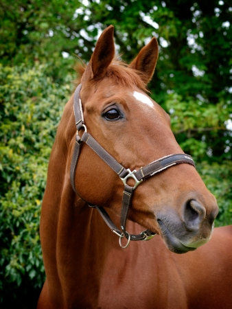 horse collar: A head shot of a chestunt horse in a head collar Stock Photo