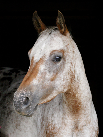 A head shot of a pretty horse against a black background photo