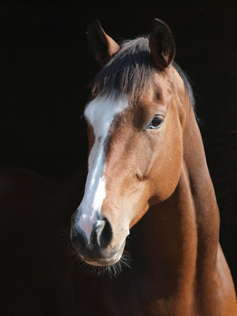 bay: A head shot of a bay horse looking over a fence.