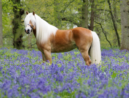 les chevaux.. - Page 14 42064026-a-haflinger-stallion-stands-in-a-forest-of-bluebells