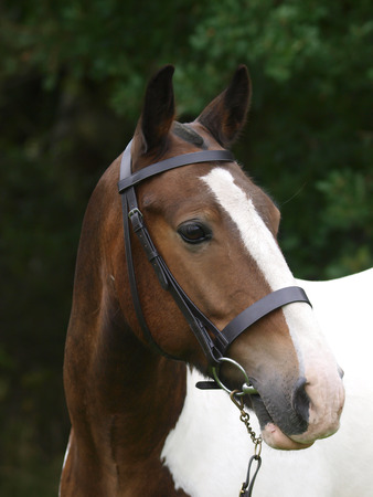 bridle: A head shot of a cob in a snaffle bridle.